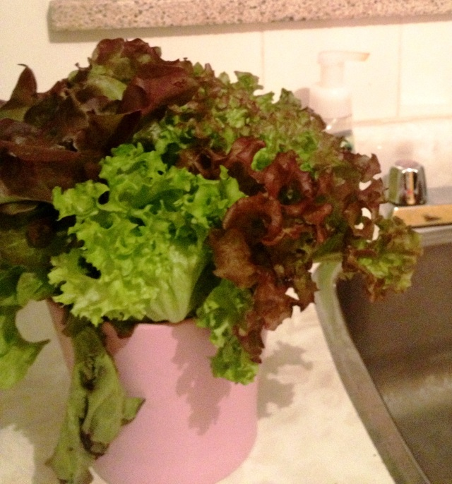 Lettuce Plant1